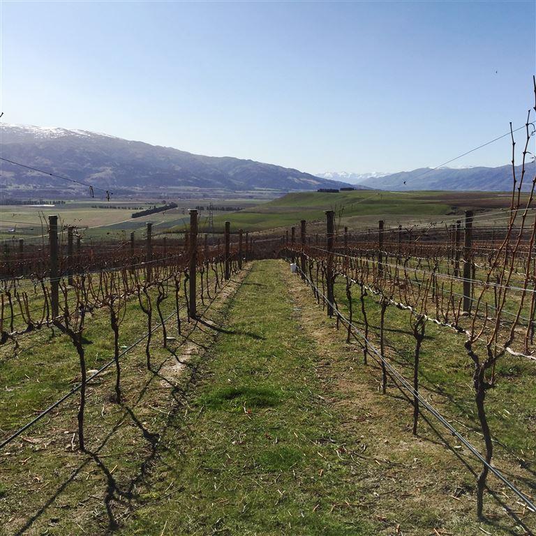 Producing Vineyard at Bendigo, Central Otago and Viticulture
