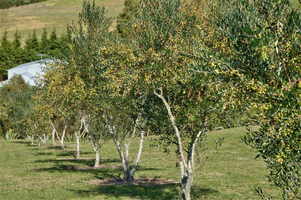 Established olive trees
