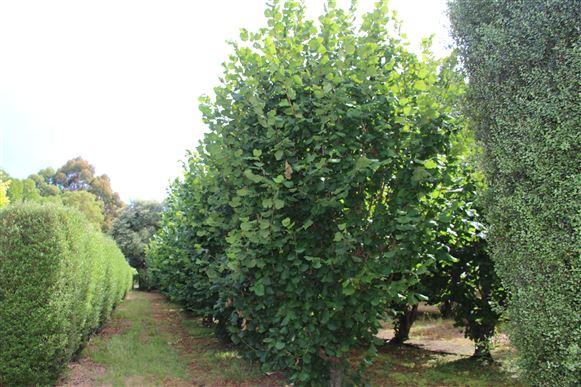 Hazlenut Trees