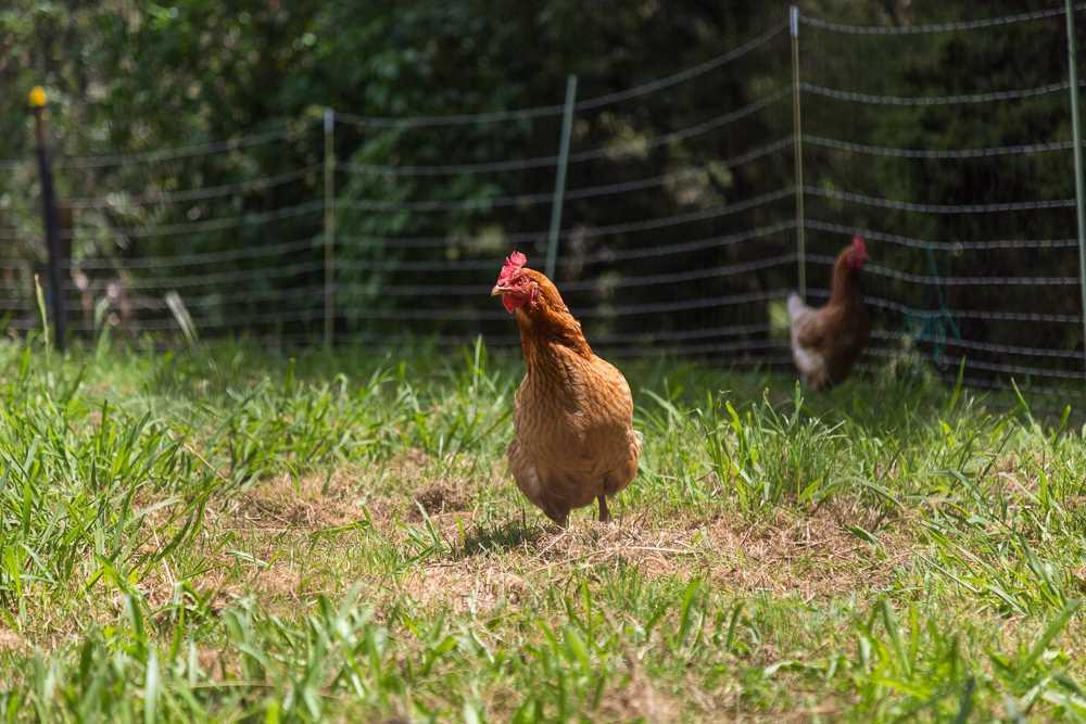 Happy Hens at